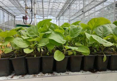 Răsaduri de legume din soiuri româneşti: roşii, ardei, vinete, gogoşari, ţelină şi plante aromatice, de vânzare la USAMV